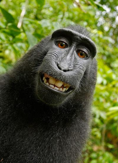 Can Monkeys Sue for Copyright Infringement?
